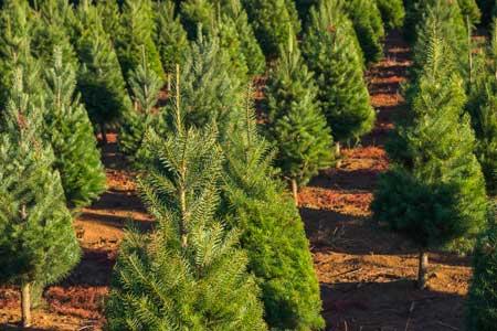 Weihnachtsbäume stammen heute überwiegend aus Baumschulen