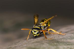 Wespen und Teak