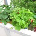 Erdbeeren auf dem Balkon - Dekorativ und lecker