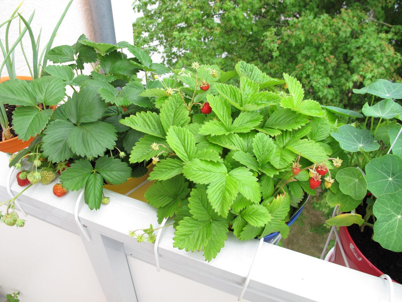 Außergewöhnlich Erdbeeren auf dem Balkon - dekorativ und lecker - Zuhause bei SAM® &PI_13