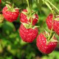 Genusshecken: Sichtschutz mit Beeren und Blüten
