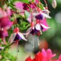 Die 5 schönsten Hängepflanzen für den Balkon