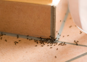 Ameisen im Haus Hilfe