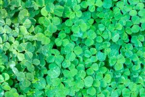 Glücksklee pflanzen, pflegen und überwintern