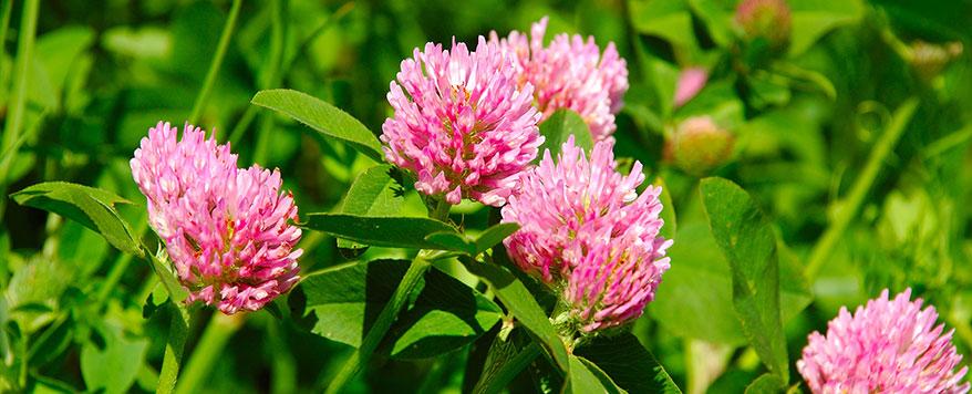 Bei der richtigen Pflege wachsen rosafarbene Blüten