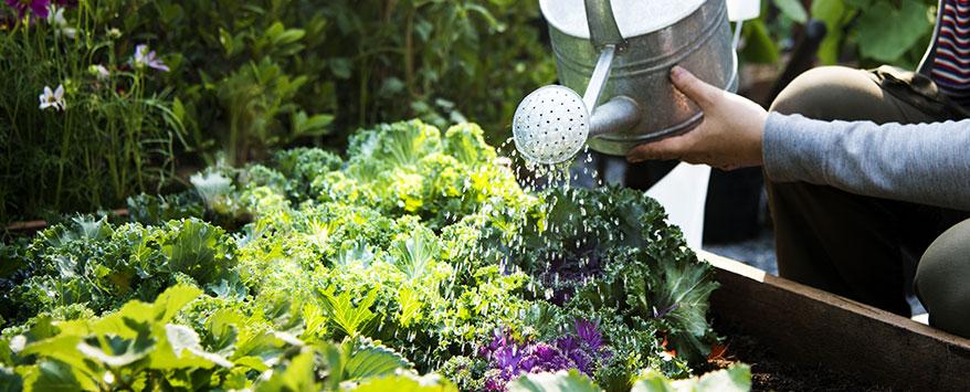Jungpflanzen und Sämlinge, die noch nicht lang im Boden sind, sollten gegossen werden