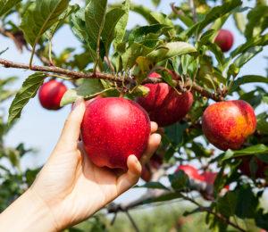 Auch Äpfel können bald geerntet werden.