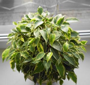 Der Ficus ist hübsch und pflegeleicht.
